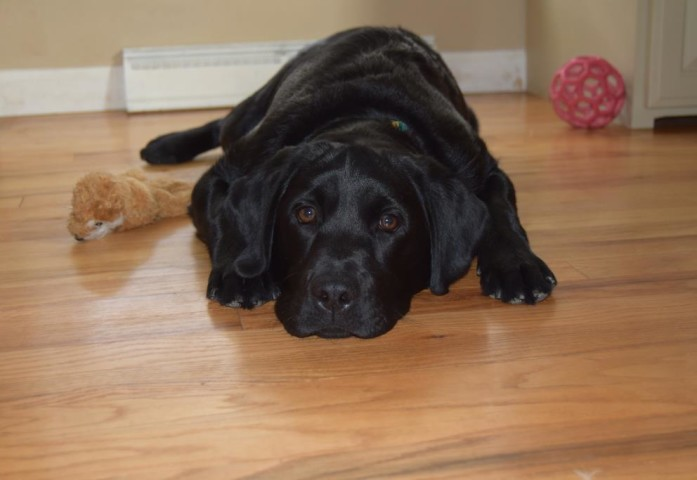 "Sweet black female lab pup laying on the floor- Endless Mt. Labradors ""Abby"""