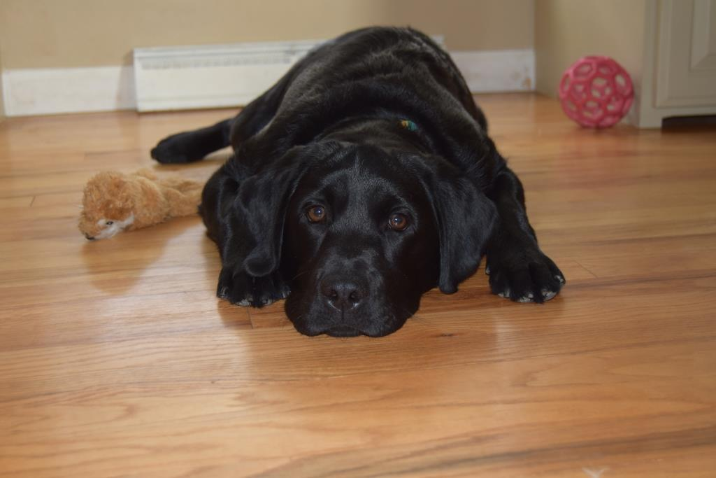 """Sweet black female lab pup laying on the floor- Endless Mt. Labradors """"Abby"""""""