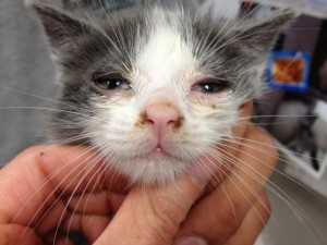 kitten with typical low grade repiratory tract symptoms