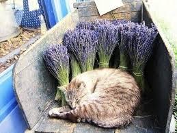 cat lavendar