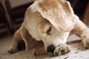 dog-chewing-paws