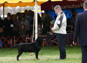 Mackie about to win Winners Dog from British judge David Craig, Potomac, 2009